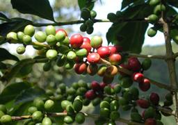 coffee-cherries1.jpg